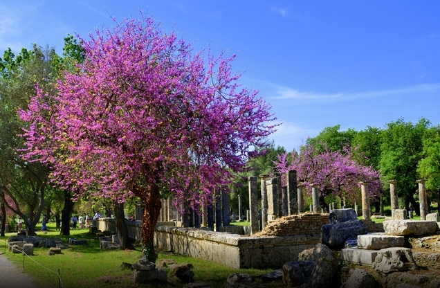 Blooming purple trees near the temple in ancient Olympia