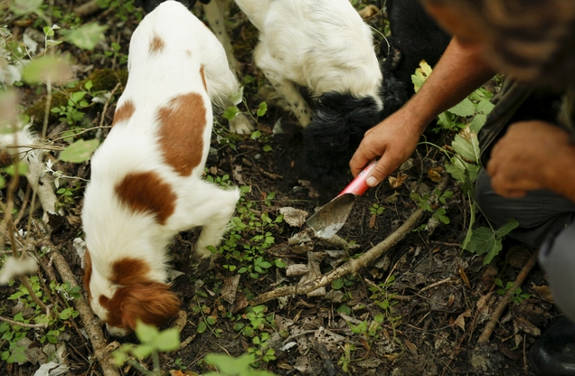 trained dogs looking for mushrooms in mushroom hunting in Nafplio