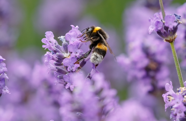 bee collects pollen on purple flowers