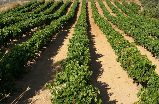 aligned vineyards in Nemea