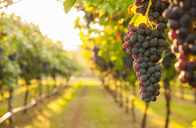 the view through a vineyard in Nemea