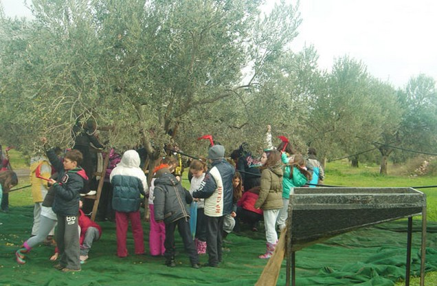 people picking olives in the fields