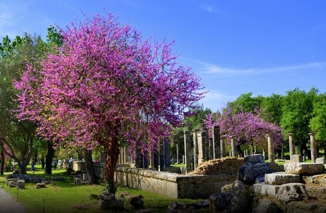 ανθισμενα μωβ δέντρα δίπλα από ναό στην αρχαία Ολυμπία