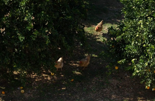 κότες στο αγρόκτημα όπου γίνεται το μάθημα μαγειρικής