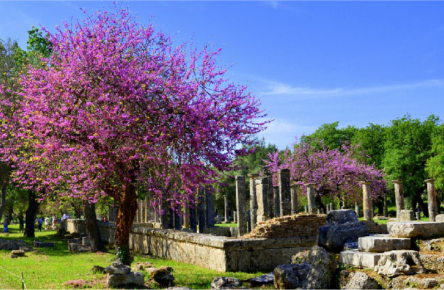 Αρχαία Ολυμπία από Ναύπλιο: ανθισμενα μωβ δέντρα δίπλα από ναό στην αρχαία Ολυμπία